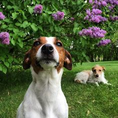 At your service, ma'am. Jack Russell Terrier reporting for duty. https://flic.kr/p/skqXxM | Under the lilac tree.