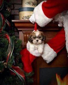 Christmas Shih Tzu!!