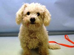 A1068104..Sally ..FEMALE, WHITE, POODLE MIN / BICHON FRISE, 6 yrs STRAY – STRAY WAIT, NO HOLD Reason STRAY Intake condition EXAM REQ Intake Date 03/20/2016, From NY 10028, DueOut Date03/23/2016  Medical Behavior Evaluation GREEN Medical Summary BARH scan negative female dog mod dental tartar clean EEN clean coat NOSF