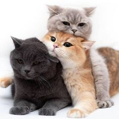 These cute kittens will bring you joy. Cats are awesome friends. Cute Cats And Kittens, I Love Cats, Crazy Cats, Kittens Cutest, Pretty Cats, Beautiful Cats, Animals Beautiful, Cute Baby Animals, Funny Animals