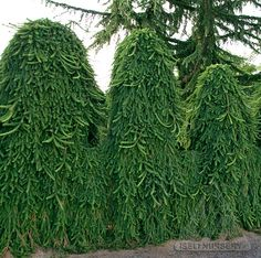 Picea abies 'Pendula' living fence  --
