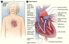 Figure A shows the location of the heart in the body. Figure B shows a cross-section of a healthy heart and its inside structures. The blue ...