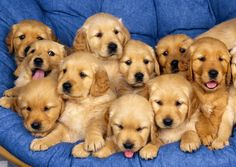 Golden Retriever puppies are seriously the cutest there are! Golden Retriever puppies are seriously the cutest there are! Golden Retrievers, Perros Golden Retriever, Labrador Retrievers, The Animals, Baby Animals, Funny Animals, Adorable Animals, Nature Animals, Wild Animals