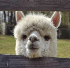 Things that make you go AWW! Like puppies, bunnies, babies, and so on. A place for really cute pictures and videos! Llama Pictures, Funny Animal Pictures, Cute Pictures, Cute Alpaca, Llama Alpaca, Farm Animals, Funny Animals, Cute Little Animals, Mammals