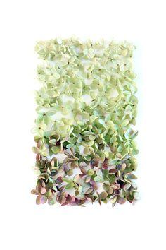 hydrangea blossoms (mary jo hoffman)