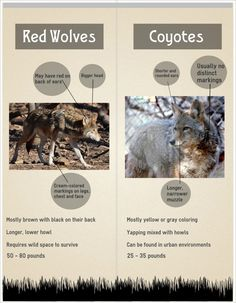 red wolves - Google Search