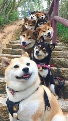 Things that make you go AWW! Like puppies, bunnies, babies, and so on. Cute Little Animals, Cute Funny Animals, Cute Dogs And Puppies, Dogs In Love, Shiba Inu Puppies, Shiba Inu Doge, Lab Puppies, Japanese Dogs, Akita Dog