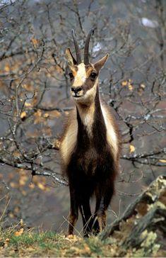 El rebeco, gamuza, sarrio o ante (Rupicapra rupicapra) es un bóvido de la subfamilia Caprinae presente en algunas cadenas montañosas de Europa, como los Cárpatos, los Alpes, el Cáucaso, los Pirineos o la cordillera Cantábrica y ciertas zonas montañosas de los Balcanes, Eslovaquia y Turquía. Algunos autores clasifican los ejemplares de los Pirineos y la Cornisa Cantábrica como una especie aparte[cita requerida], el rebeco pirenaico (Rupicapra pyrenaica). Primates, Mammals, Wild Animal World, Animals Of The World, Animals With Horns, Big Horn Sheep, Fauna, Stuffed Animal Patterns, Pet Birds