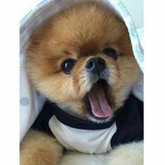 Meet Jiff pom he is a gorgeous little dog that has met many different celebrities and has become a world sensation. By @mozzarella1122 Follow him on Instagram @jiffpom