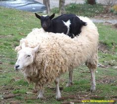 Goat on a sheep