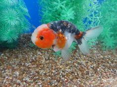 Lot# 9536 Blue Kirin Ranchu (4.5 inches) goldfishnet.com