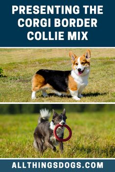Collie dogs are renowned for their workaholic nature, so by breeding with one, you are sure to end up with an active, intelligent and hard working dog. Corgi Mix Breeds, Smartest Dog Breeds, Bearded Collie, Border Collie Mix, Mixed Breed, Working Dogs, Personality, Hacks