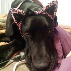 #Great #dane #puppy Jetta