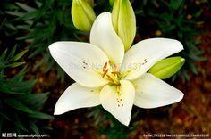 Купить товар80 шт. лилии + СЕКРЕТНЫЙ ПОДАРКОВ, дешевые духи лилии семена, смешанные 24 цветов, семена цветов, DIY дома и сада, бесплатная доставка в категории Карликовые деревьяна AliExpress. начать10 шт./лот японский sakura семена, бонсай цветок Че...цена:$0.5850 шт./пакет, стрелиция семян, горшечные семена, ц