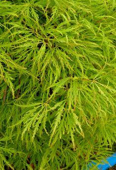Acer palmatum var. dissectum -- Dissected Japanese Maple 'Sunset'