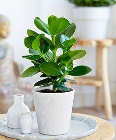 De Clusia rosea is een aantrekkelijke groene plant voor in de woonkamer! Oorspronkelijk komt deze clusia voor in de Caraïben. De stevige groene bladeren geven uw interieur een prachtige groene aanblik. Het merk Intenz Home® levert exclusieve planten met een moderne uitstraling. Stuk voor stuk planten waarmee u zich kunt onderscheiden. Intenz Home® staat voor vernieuwing, exclusiviteit en planten met karakter. De plant is robuust en kan goed tegen een stootje! De clusia is ook wel bekend…