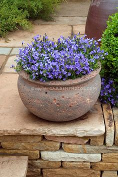 Campanula in rustic pot on stone patio, and also planted in ground.