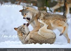 Photographer of the Month February 2013: Michael Weber (RM 1804860). Showing Mackenzie-Wolves, Eastern wolf, Canadian wolf (Canis lupus occidentalis) in snow, fight for social ranking