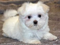 Squee!  Maltese puppy
