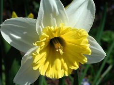 Daffodil Photograph by Dave Martsolf - Daffodil Fine Art Prints and Posters for Sale