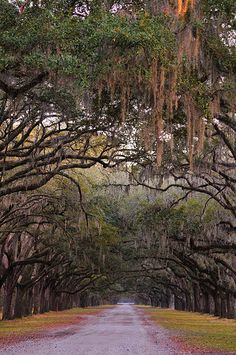 Wormsloe Plantation near Savannah, GA has a driveway lined with hundreds of Spanish moss covered live oaks.