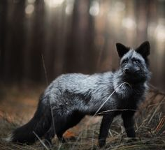 Silver fox by Iza Łysoń