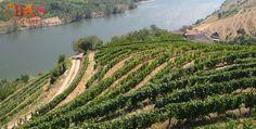"""La vallée du Douro: Le plus beau vignoble du monde - via Le Figaro 05.08.2015   """"Les vignobles en terrasses créées au XVIIIème siècle s'appuient sur des collines de schistes de 700 mètres d'altitude. Ces coteaux vertigineux plongent dans le fleuve et constituent un paysage unique au monde"""" Cette région du nord-est du Portugal, située à une centaine de kilomètres de Porto, tient son nom du Rio D'ouro (fleuve d'or), qui traverse la vallée. #portugal #vin"""