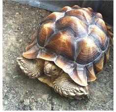 My cocomo African sulcata tortoise