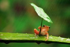 Who Invented the Umbrella: The Romans, the Chinese, or Frogs?