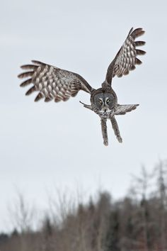 "Great gray owl in flight | Great Gray Owl in Flight"""