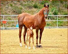 Resultado de imagem para american saddlebred stallion