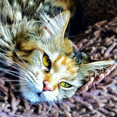 Mamour Mainecoon Chat Cat