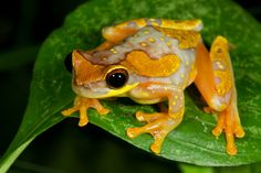 Hourglass tree frog -- one of my favorites!