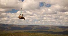The Flying Rhino. transporting endangered black rhinos to a secret location