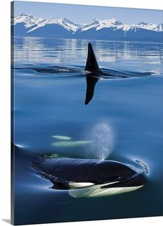 John Hyde Premium Thick-Wrap Canvas Wall Art Print entitled Close up of Orca whales as they surface in Lynn Canal, None