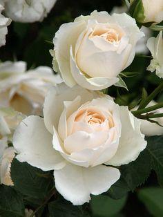 Floribunda Rose 'Princess of Wales' | Harkness 1997
