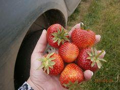 hnojivo na jahody Alga 600 #strawberries #gargening