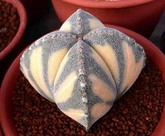 variegated Astrophytum - for some reason this makes me think of the Sith on Star Wars