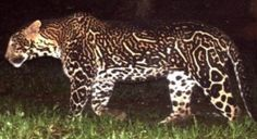 esho84 (Leopardo Rey (Panthera pardus))