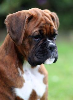 I love my boxer so much - they are people with fur as I always say about ours