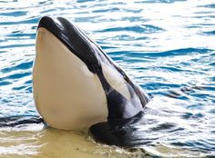 """""""Orca"""" by MarinoCarlos   CC BY 2.0  At 10 months old, Vicky was just an infant when she died at the Loro Parque amusement park in Tenerife. Vicky's premature death was hardly surprising, given that, like most SeaWorld orcas, she was grossly inbred (her father was also her uncle) and she had been rejected by her mother, Kohana – behaviour virtually unseen in wild orcas."""
