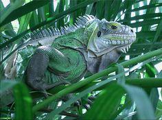 Un iguane qui est aussi un animal de compagnie pour notre tribu.