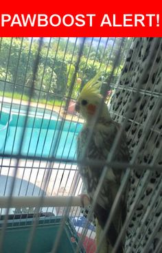 Is this your lost pet? Found in Hollywood, FL 33021. Please spread the word so we can find the owner!  Grey and white (pied) cockatiel w/ yellow head. Very young  Harding St & 31 Rd