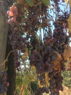 "Autumn in a vineyard just north west of Jerusalem. Succot תשע""ה"
