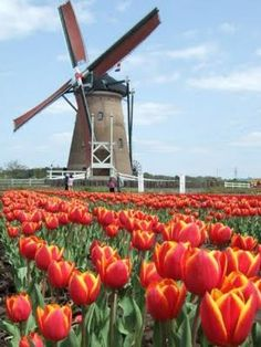 The consumate image of Holland, a Windmill and tulips.