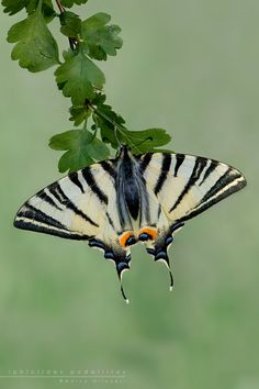 Zebra Swallowtail butterfly (Protographium marcellus), eastern US and southeastern Canada