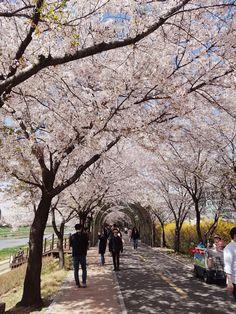 계룡산, 벚꽃 Korea