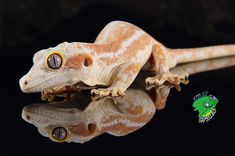 Cool, calm, and low-maintenance. Small, colorful, and pretty. These are all words that reptile owners use to describe their favorite exotic pet. From leopard geckos to ball pythons, an online exotic reptiles pet shop like Strictly Reptiles has it all.   #ExoticReptilesPetShop #ReptileOnlineStore #OnlineReptileShop #OnlineReptileStore #WholesaleReptileDistributors #WholesaleReptileDealers #WholesaleSnakes #WholesaleReptilesForSale #wholesalereptiles