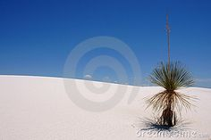Plant on a sand dune in white sands national monument New Mexico, USA