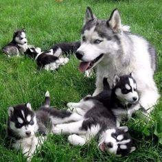 Sweet Husky  puppies :-)